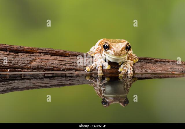 Tropical Treefrog Stock Photos & Tropical Treefrog Stock