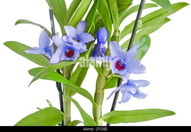 dendrobium phalaenopsis stock photos dendrobium phalaenopsis stock images alamy. Black Bedroom Furniture Sets. Home Design Ideas