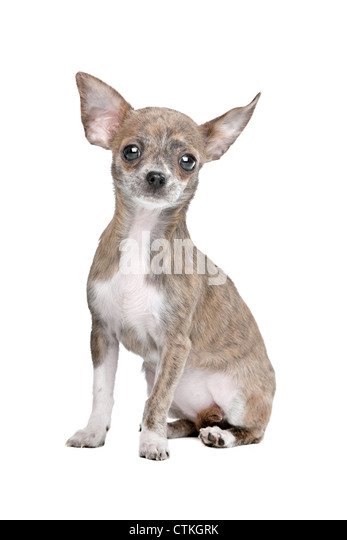Black and white short hair chihuahua