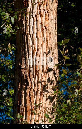 cottonwood black dating site Black cottonwood seedlings black cottonwood seedlings (credit: krista   details image dimensions: 259 x 238 date taken: march 1, 2017.