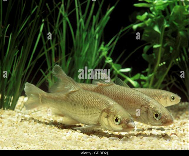 Common Dace, leuciscus leuciscus, Adults - Stock Image