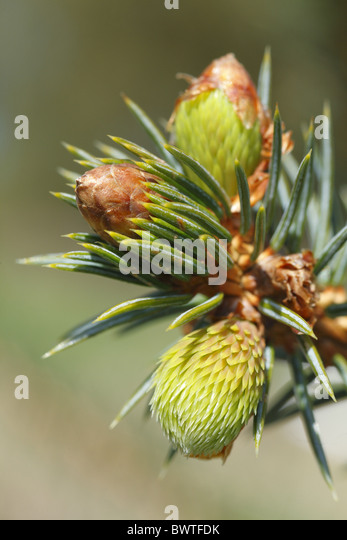 how to stop a conifer tree from growing