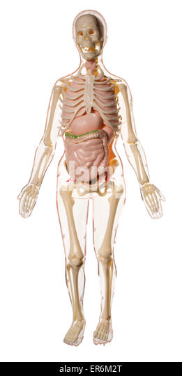 child human skeleton stock photos & child human skeleton stock, Skeleton