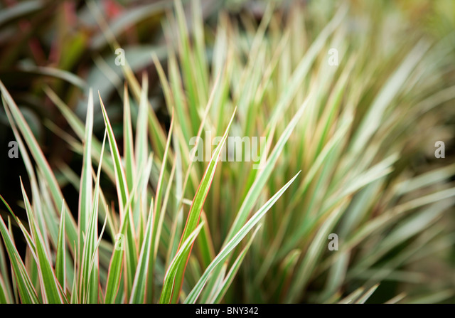 Variegated ornamental grass stock photos variegated for Variegated ornamental grass