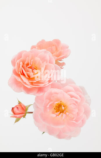 close up of peach garden rose cluster with off white background rosa apricot