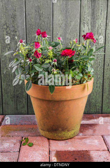 An Old Terracotta Plant Pot On A Patio With Red Roses   Stock Image