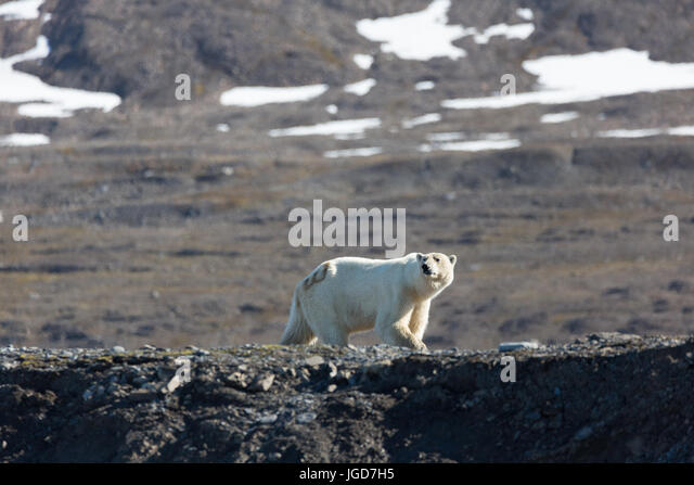 A solitary polar bear with an identification number painted on it patrols a section of coast looking for food in - Stock Image