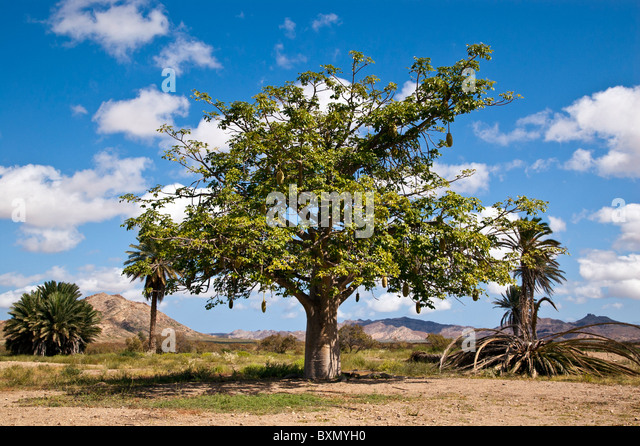 tamarind tree stock photos  tamarind tree stock images  alamy, Beautiful flower