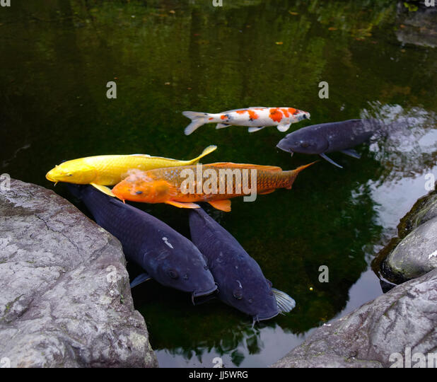 Koi ponds stock photos koi ponds stock images alamy for Amazing koi fish