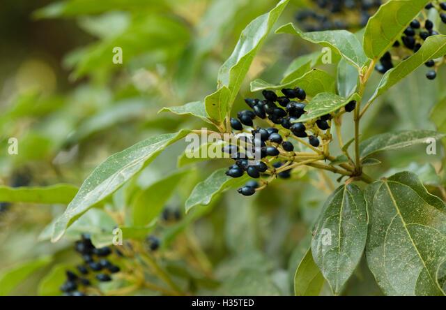close up on fruits of viburnum tinus laurustinus viburnum laurestine eve price