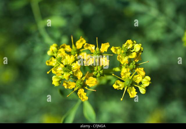Ruta Flower