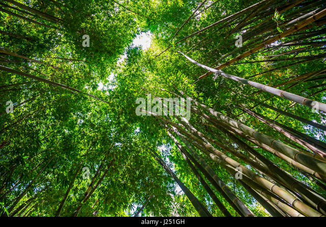 Green canopy of bamboo towering high in the sky above tall trunks of a young grove & Tall Canopy Trees Stock Photos u0026 Tall Canopy Trees Stock Images ...