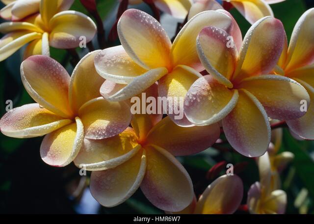 Plumeria acuminata stock photos