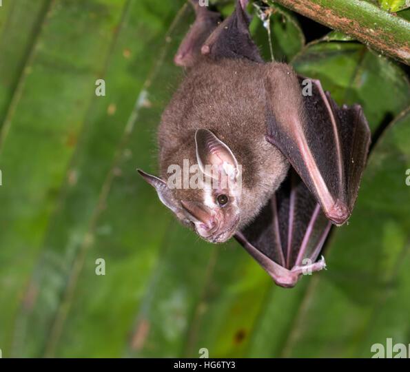 Tent-making bat (Uroderma bilobatum) roosting under palm leaf in rainforest Belize & Tent Making Bat Stock Photos u0026 Tent Making Bat Stock Images - Alamy