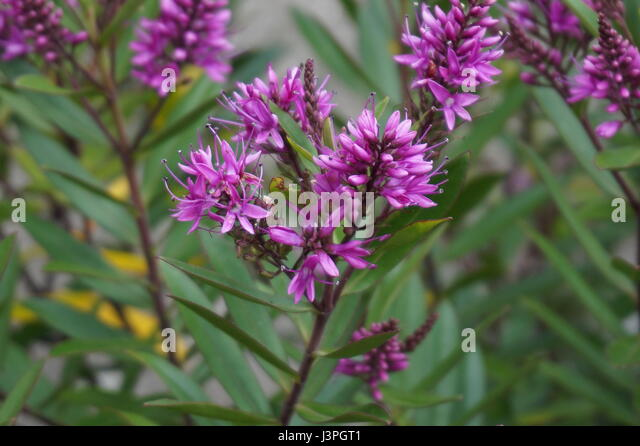Hebe Leaves Stock Photos & Hebe Leaves Stock Images - Alamy