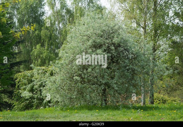 pyrus salicifolia stock photos pyrus salicifolia stock images alamy. Black Bedroom Furniture Sets. Home Design Ideas