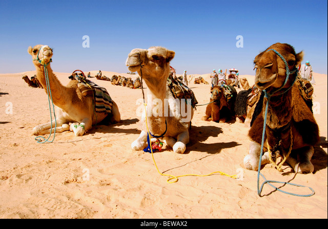 essay on camel the ship of the desert 10 amazing facts about camels go the ship of the desert oct 19 there is the concept that camel is a strictly desert animal.