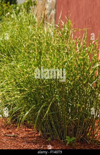 Ornamental Grasses Kenya : Zebra grass stock photos images alamy