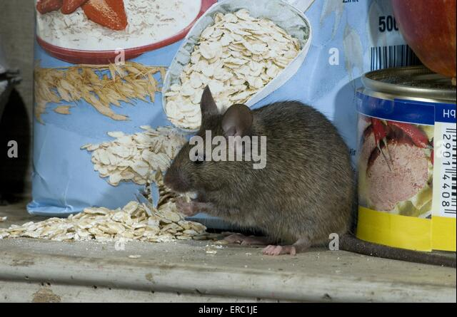 White Flakes In Kitchen Mice