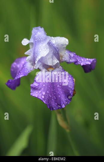 bearded iris germanica flower stock photos bearded iris germanica flower stock images alamy. Black Bedroom Furniture Sets. Home Design Ideas