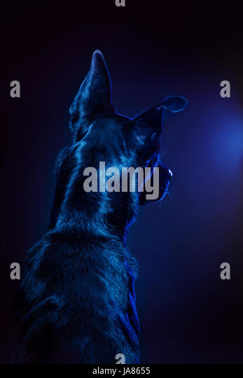 Artful studio portrait of a German Shepherd mix facing away from camera, looking thoughtfully away from camera. - Stock Image