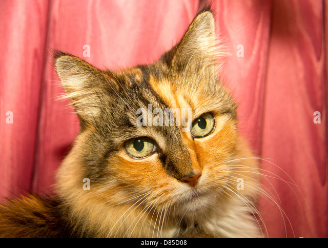 Marmalade Cat Stock Photos Amp Marmalade Cat Stock Images
