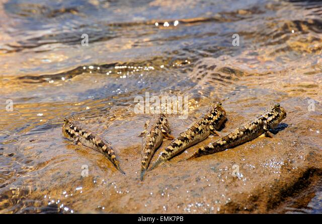 Four Barred Mudskippers (Periophthalmus argentilineatus) on a rock ...