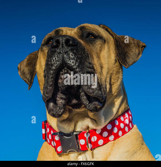 south african mastiff stock photos south african mastiff stock images alamy. Black Bedroom Furniture Sets. Home Design Ideas