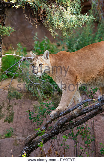 cougar arizona