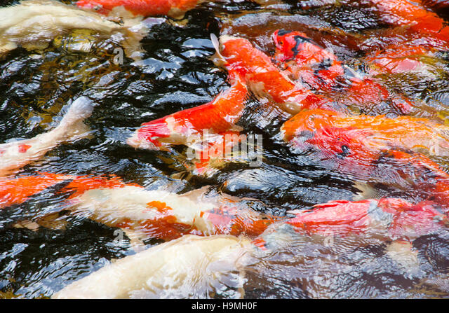 Gold fish pond stock photos gold fish pond stock images for Koi carp colours