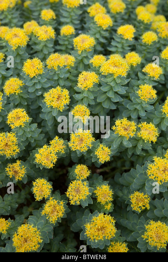 Rhodiola Herb Stock Photos Rhodiola Herb Stock Images Alamy