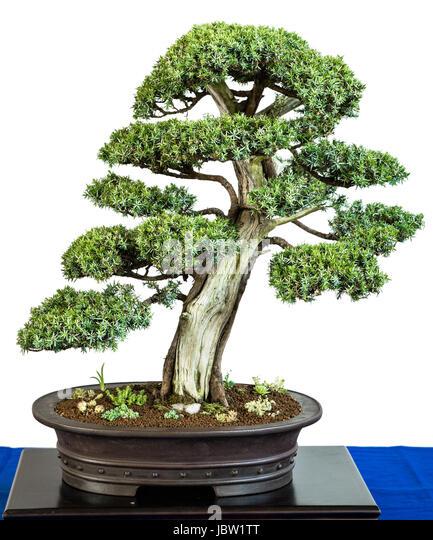 bonsai baum stock photos bonsai baum stock images alamy. Black Bedroom Furniture Sets. Home Design Ideas
