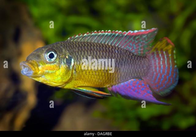 striped african dwarf cichlid, striped dwarf cichlid, Kluges dwarf ...