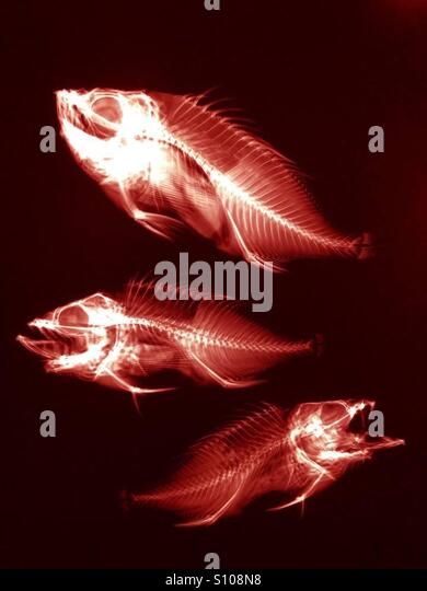 Fish x ray stock photos fish x ray stock images alamy for X ray fish