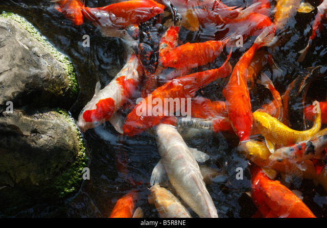 Koi fish stock photos koi fish stock images alamy for Koi swimming