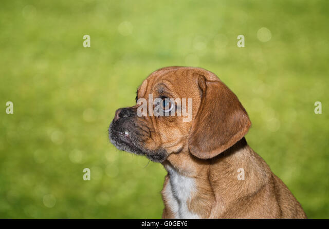 beagle mops stock photos beagle mops stock images alamy. Black Bedroom Furniture Sets. Home Design Ideas