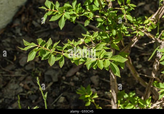 Euonymus stock photos euonymus stock images alamy for Euonymus alatus