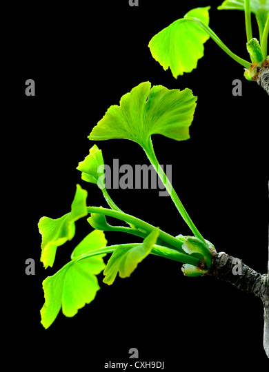 gingko biloba essay Ginkgo (ginkgo biloba) increases circulation and may improve sexual function, although one study found no effect.