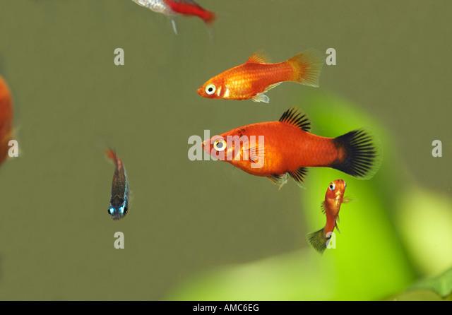 maculatus southern platyfish platy southern platyfish maculate platy ...