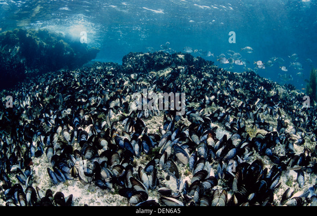 common-mussel-mytilus-galloprovincialis-