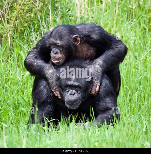 Chimp Playing Stock Photos & Chimp Playing Stock Images ...