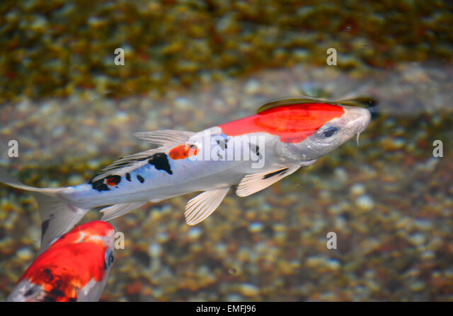 Koi fish stock photos koi fish stock images alamy for Koi fish australia