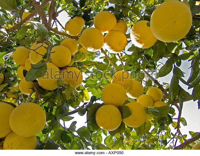 grapefruit tree branches stock photos  grapefruit tree branches, Natural flower