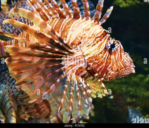 the lionfish an invasive species In response to the lionfish invasion's adverse impact on the  invasive species  are capable of causing extinctions of native plants and animals,.