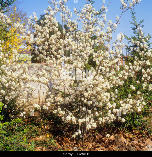 amelanchier lamarckii stock photos amelanchier lamarckii stock images alamy. Black Bedroom Furniture Sets. Home Design Ideas