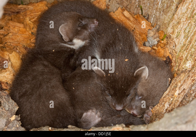 baummarder edelmarder european pine marten stock photos baummarder edelmarder european pine. Black Bedroom Furniture Sets. Home Design Ideas