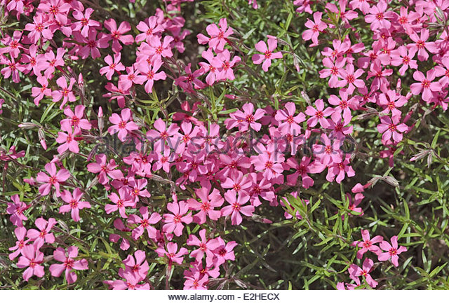 Creeping Phlox or ...