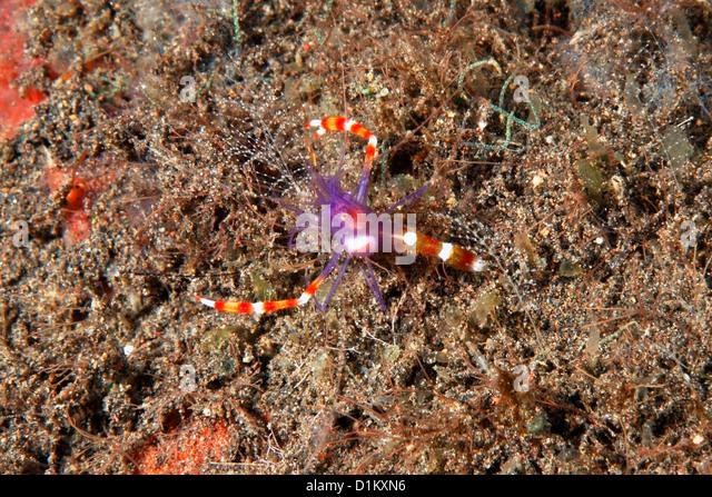Indo Pacific Shrimp Stock Photos & Indo Pacific Shrimp Stock Images ...