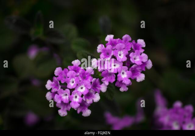 tiny purple flowers stock photos  tiny purple flowers stock, Beautiful flower