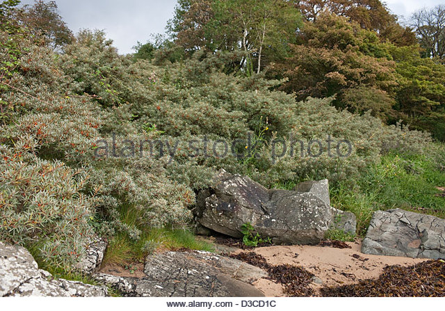 Hippophae rhamnoides stock photos hippophae rhamnoides stock images alamy - Growing sea buckthorn ...